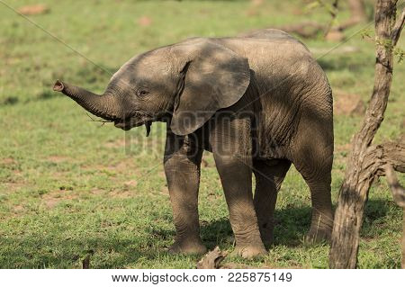a baby elephant tried to use his trunk on the grasslands of the Maasai Mara, Kenya