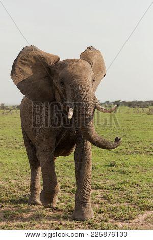 An Elephant Shakes Its Head On The Grasslands Of The Maasai Mara, Kenya
