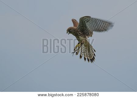 Photo Of A Common Kestrel Hovering In Mid Air