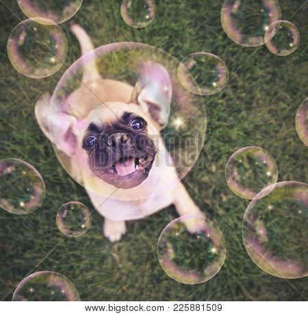 cute chihuahua pug mix puppy playing outside in fresh green grass with soap bubbles toned with a retro vintage instagram filter