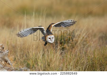 Barn Owl (tyto Alba) In Flight Above The Field