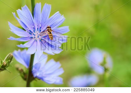 Chicory Blue Flower Blooming In Nature With Syrphidae Fly, Floral Background With Copy Space