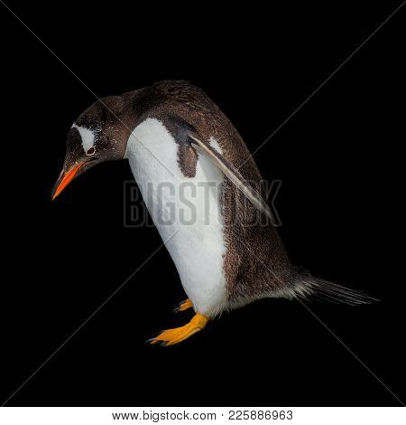 Funny Gentoo Penguin At Beagle Channel In Patagonia, Argentina, Summer Time