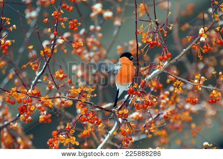 The Bullfinch Flies Up And Sits Down On A Wild Apple Tree To Eat The Seeds Of Apples