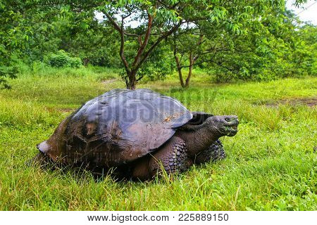 Galapagos Giant Tortoise (geochelone Elephantopus) On Santa Cruz Island In Galapagos National Park,
