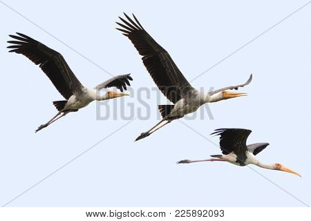 Painted stork large in flight, wader birds with yellow beak pink legs flying in sky, Thailand, tropical Asia (Mycteria leucocephala)