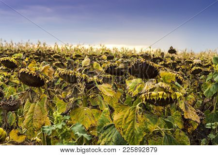 Field Of Ripened Sunflowers Ready For Harvesting For Their Seeds In Northern Romania.
