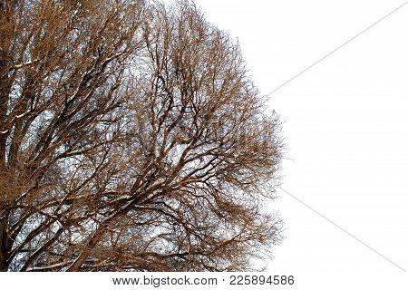 Background Of Trees For A Double Exposure, Trees Isolated On White Background, Branches On A Homogen