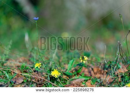 Blue Chicory Flowers On Green Grass Background