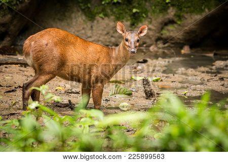 Red Brocket Deer (mazama Americana). Wildlife Scene From Nature. Deer, Nature Habitat. Wildlife Ecua