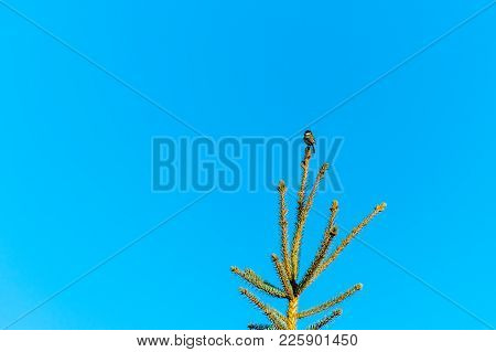 A Little Bird On The Top Of The Conifer