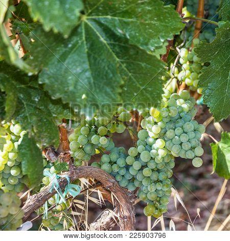 White Grape Leaves, Clusters, Growing Vine Grapes, Vineyard