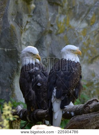 Pair Of Sleeping Bald Eagles Beside A Rocky Cliff.