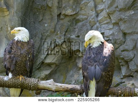 Two American Eagles Sitting Together On A Perch.