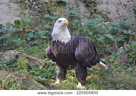 Bald Eagle Standing On The Ground With His Feathers Ruffled.