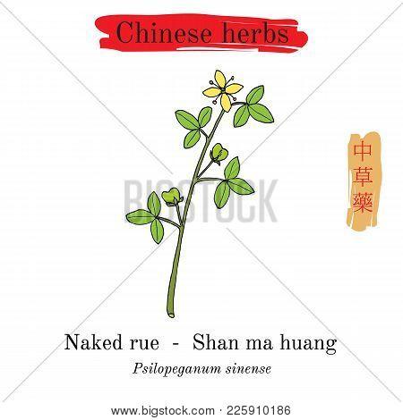 Medicinal Herbs Of China. Naked Rue Psilopeganum Sinense . Hieroglyph Translation Chinese Herbal Med