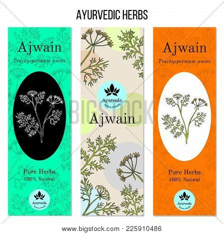 Ayurvedic Herbs Banners, Ajwain Trachyspermum Ammi , Or Ajowan Caraway, Bishop Weed, Carom. Hand Dra