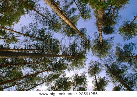 Pine Forest Trunks And Canopy In Front Of Sky