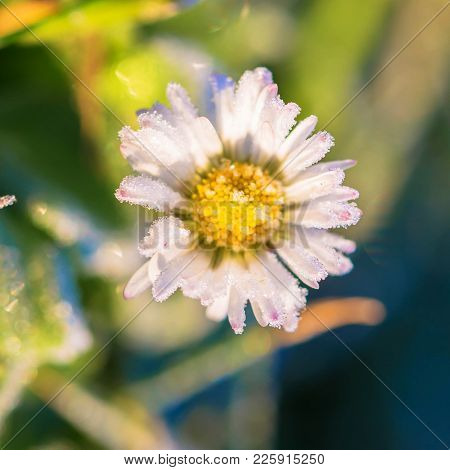 Macro Photo Of A Daisy Flower. Frozen Flower Of A Daisy Close-up. Crystals Of Ice On Petals. Winter
