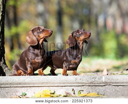 dachshund against the background of the autumn forest