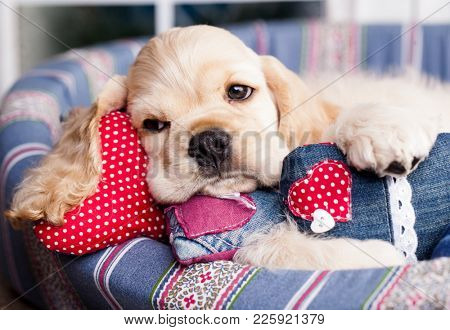 valentine havanese puppies and heart