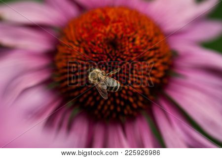 A Closeup Of A  Honeybee Polinating A Pink Coneflower Bloom.