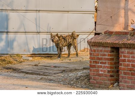 Large Black And Brown Dog With Curled Tail Standing In Driveway Chained Next To Gray Metal Wall With