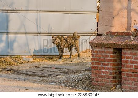 Large Black And Brown Dog With Curled Tail Standing In Driveway Chained Next To Gray Metal Wall