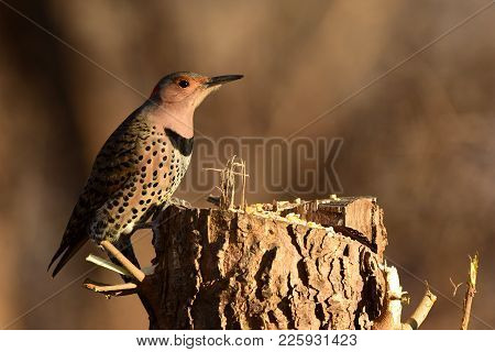 A Northern Flicker Bird Enjoying Some Seed On A Tree Stump.