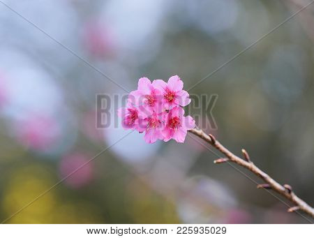 Sakura, Cherry Blossoms Japan, Pink Spring Blossom Background.