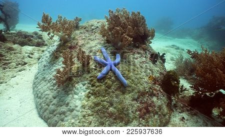 Blue Starfish Amongst The Coral. Hard And Soft Corals. Diving And Snorkeling In The Tropical Sea. Tr