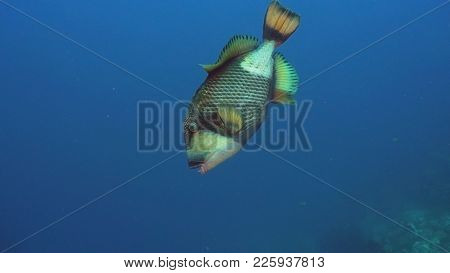 Giant Triggerfish On A Coral Reef. Dive, Underwater World, Corals And Tropical Fish. Bali, Indonesia
