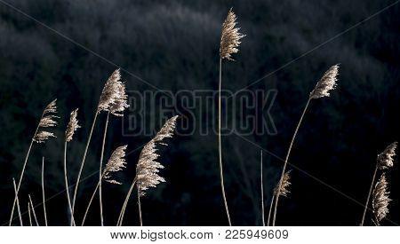 Detailed Intimate Landscape Image Of Reeds On Riverbank In Sunlight Against Dark Woodland Background