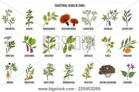 Chinese Traditional Medicinal Herbs. Hand Drawn Vector Set