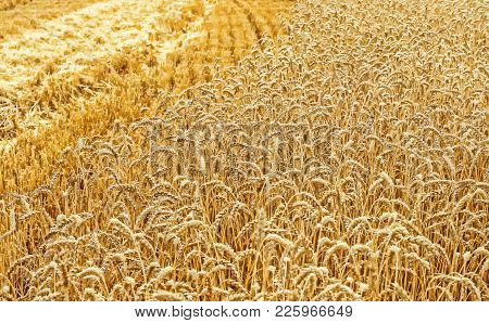 Golden Field Of Wheat During The Harvest In Late Summer. Harvesting. Cereal Field