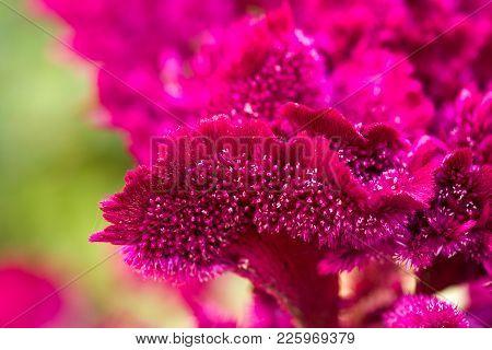 Red Velvet Flower In Nature . In The Park In Nature