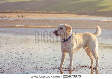 Pure Bred Labrador Retriever At The Beach.