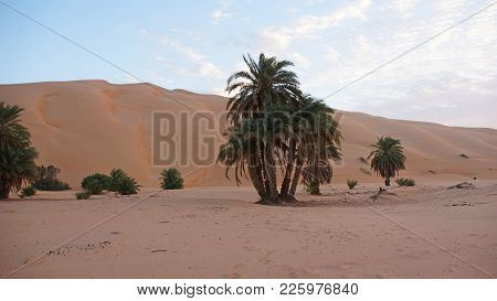An Evening In The Mauritanian Desert. On The Foreground A Palm Tree In The Background A Dune