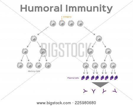 Humoral Immunity Vector & Photo (Free Trial) | Bigstock