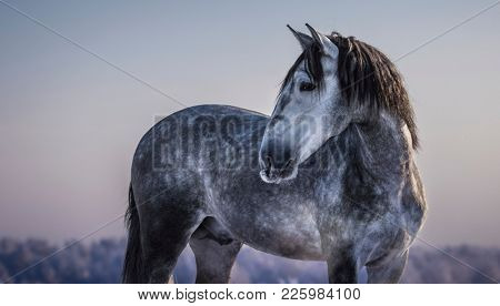 Horizontal portrait of gray Andalusian horse with winter evening skies.