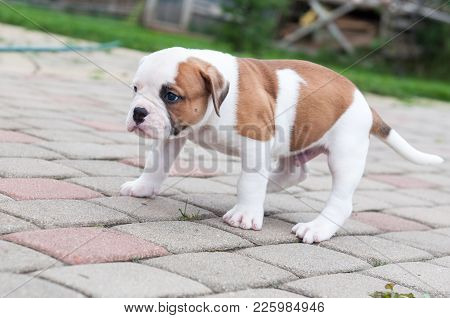 The Puppy Is Lost. Funny Nice Red White Coat American Bulldog Puppy Is Walking On Nature
