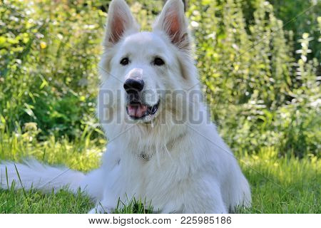 Close-up Of A White Shepherd Dog Lying In The Meadow