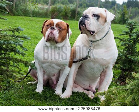 Two White Red White American Bulldogs In The Yard Of The House. The American Bulldog Is A Stocky, We