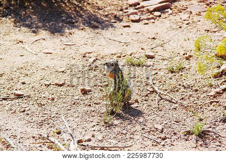 Cute Gopher In Desert. Close Up View. Grand Canyon. Beautiful Nature Background.
