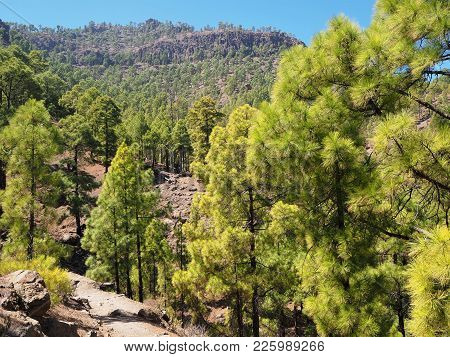 Canarian Pine Trees Near St Bartolome In The Central Mountains Of Gran Canaria, Canary Islands