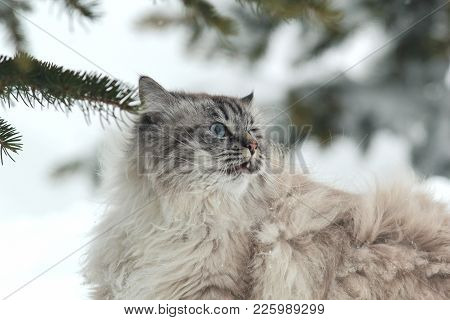 Big Furry Cat Walks In The Snow Between The Trees, Pet Care