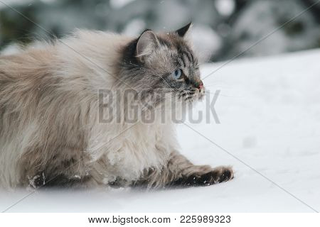 Big Furry Cat Sneaks In The Snow Between The Trees, Pet Care