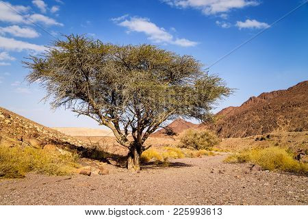 Lonely Dry Tree In Valley Of Arid Sandstone Negev Desert Near Eilat, Israel. Hiking Pathway To Red C