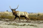 Californian Tule Elk testing our nerve as he gets closer poster