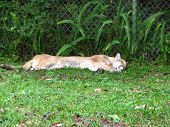 a Florida panther sleeping in a Florida zoo poster